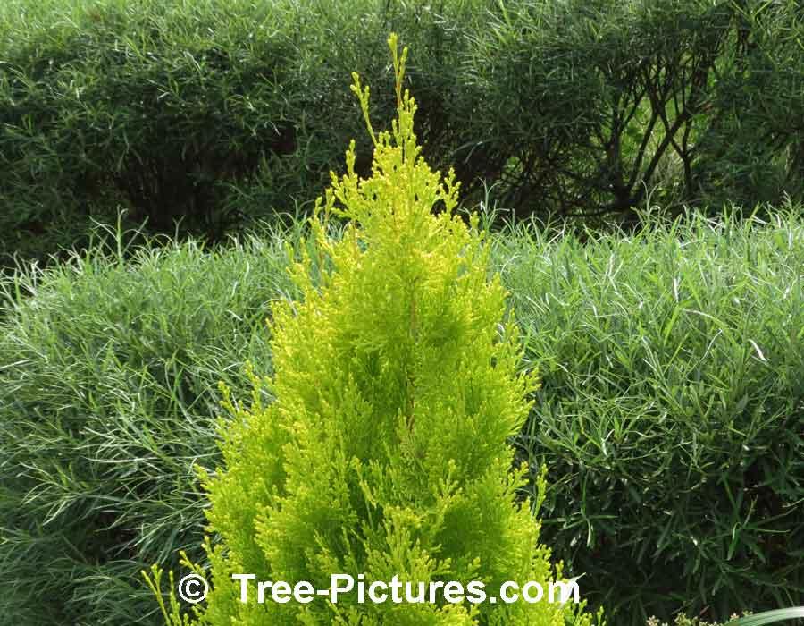 Cedar Tree Types; Picture of a Golden Cedar with the Cedar ...