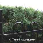 Cedar Hedge Privacy with the security of a wrought iron fence