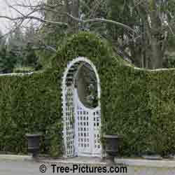 Cedar Tree Pictures; Cedar Privacy Hedge: Cedar Landscaping with White Picket Gate