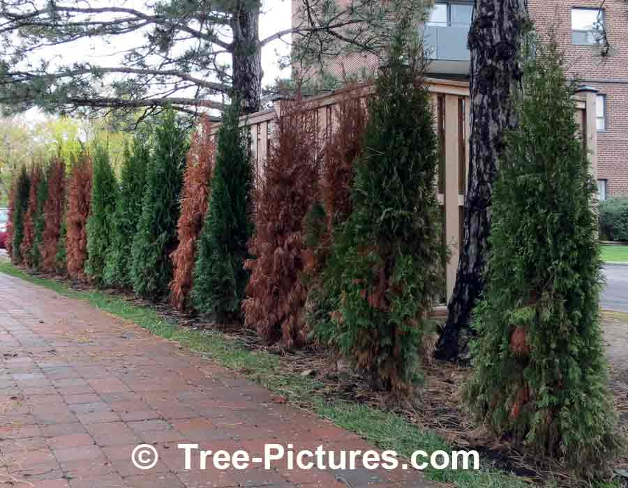 Cedar Hedge: New Privacy Cedar Landscape Shrub Care
