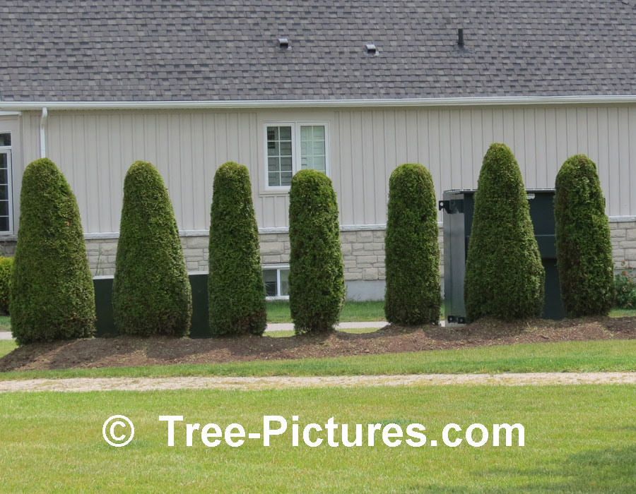 Pyramidal Cedar Tree Picture: Type of cedar trees use as a Hedge to Block Hydro Transformers