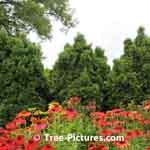 Cedar Tree Design a background with cone flower garden in front  Tree-Pictures.com