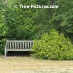 Landscaping Design Image: Globe Cedar Tree paired with Wood Garden Bench | Tree-Pictures.com