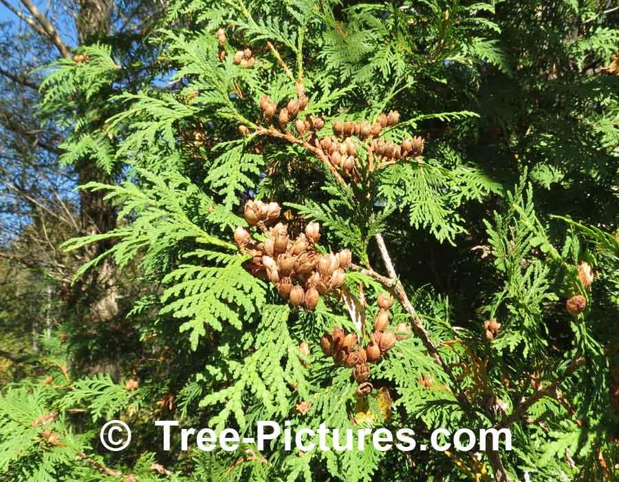 Cedar Tree Identification ~ Cedar tree pictures