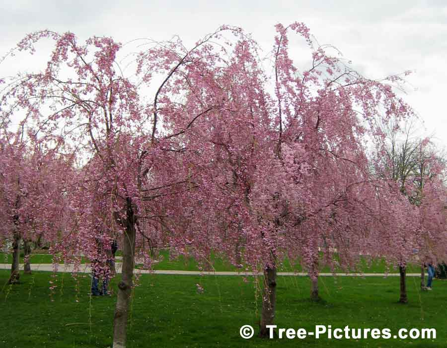 Cherry Blossoms, Pink Cherry Tree Flowers Spectacular | Cherry Trees at Tree-Pictures.com