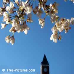 Cherry Trees, White Cherry Blossoms at Town Hall