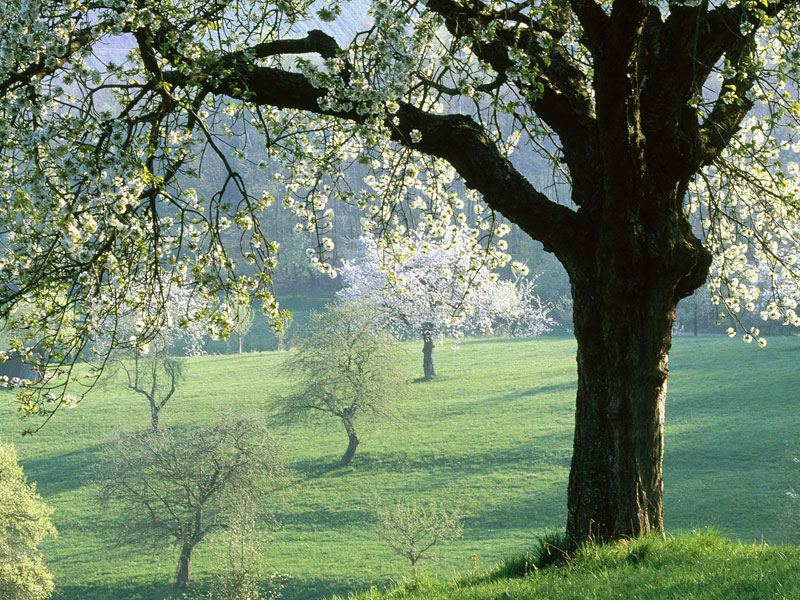 Cherry Tree  C2 B7 Tree Picture Redwood