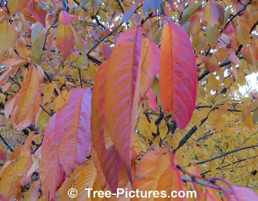 Cherry Tree: Colorful Cherry Leaves in Fall | Cherry Trees at Tree-Pictures.com