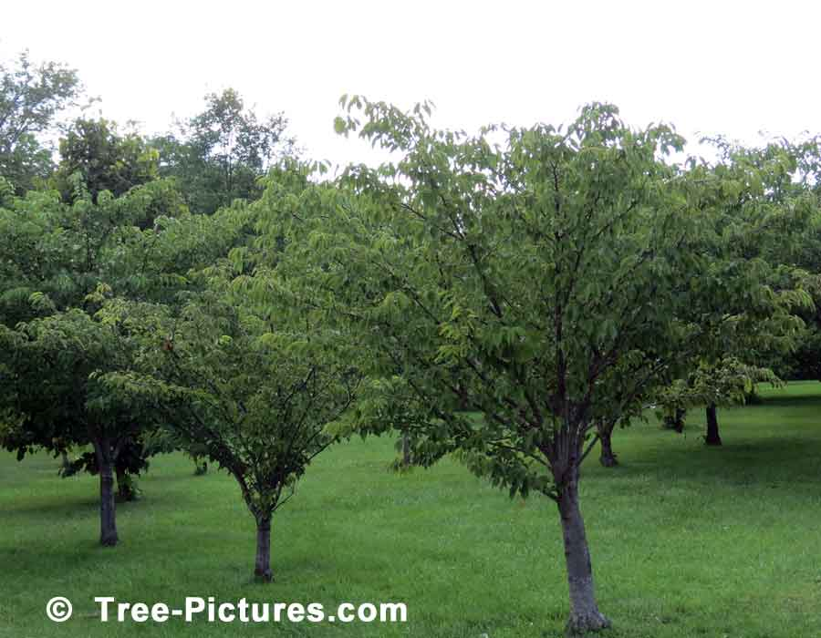 Cherry Trees, Cherry Tree Orchard | Cherry Trees at Tree-Pictures.com