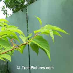 Cherry Tree: Manchurian Cherrys Type Berry Leaf Picture