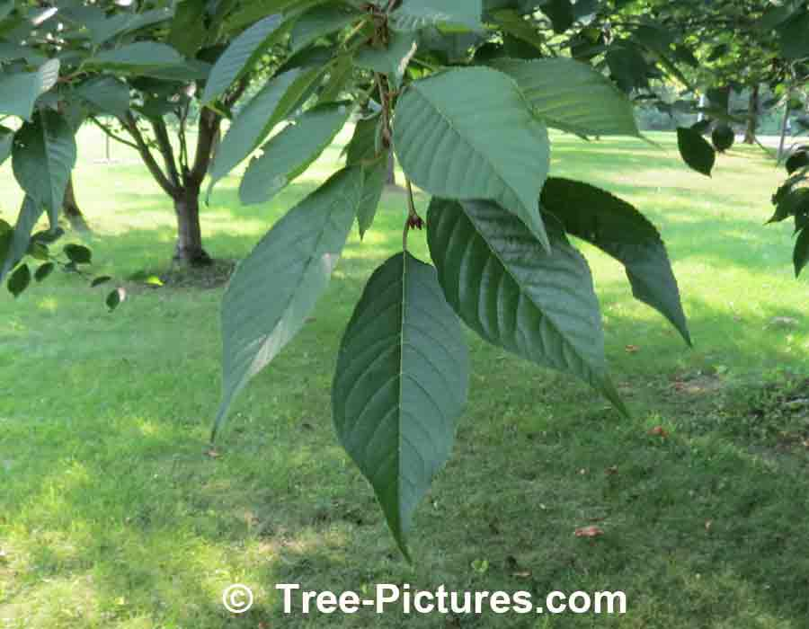 Cherry Leaf Identification, Green Cherry Tree Leaves in Spring | Cherry Trees at Tree-Pictures.com