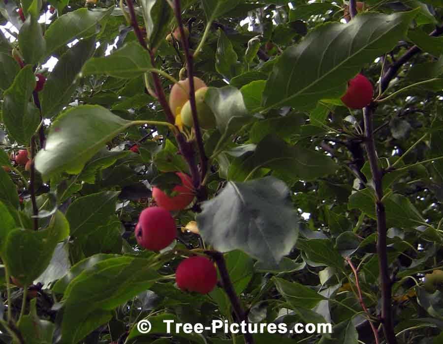 Crab Apple, Photo Showing Fruit & Leaves of Crab Apple Tree | Apple Trees at Tree-Pictures.com