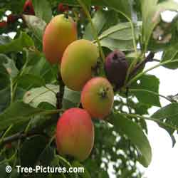 Pictures of Apple Trees; Crab Apples are the Fruit of the Crab Apple Tree