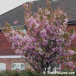 Crab Apple, Pink Crab Apple Tree Blossoms in Spring, Bath, England