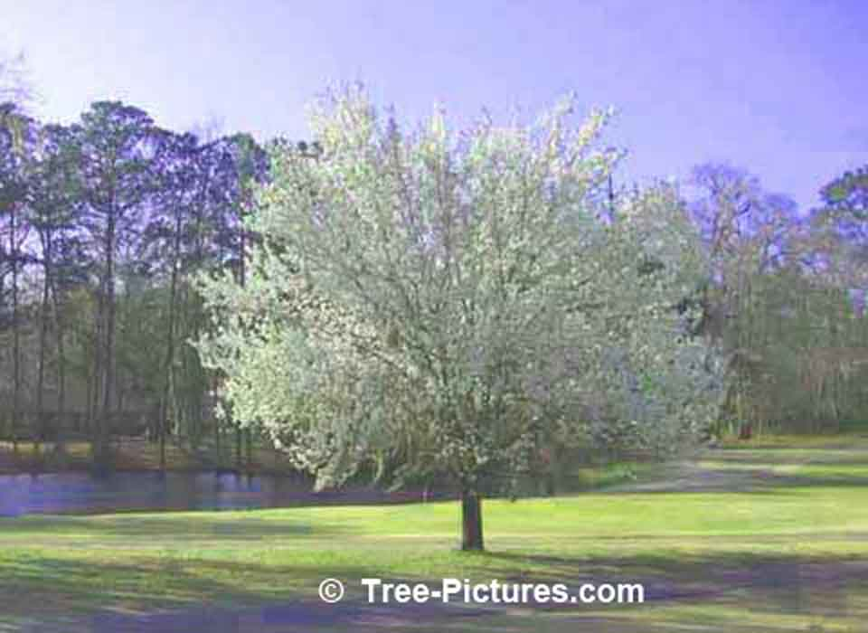 Tree Picture; Flowering Dogwood in Spring | Dogwood Trees at Tree-Pictures.com
