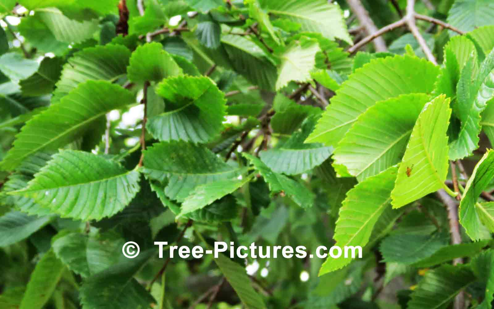 elm tree pictures images u0026 photos