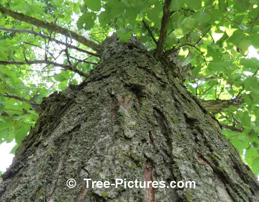 ElmTree, More pictures, images & photos of Elm trees | Elm Tree Pictures, Tree-Pictures.com