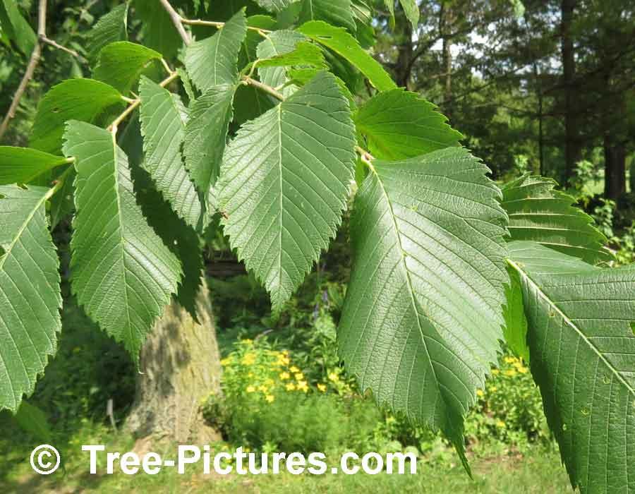 Elm Leaf Identification