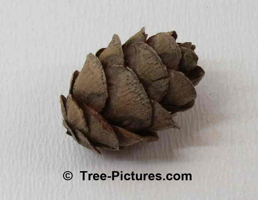 Fir Cones: Balsam Fir; Old Fallen Fir Tree Cone