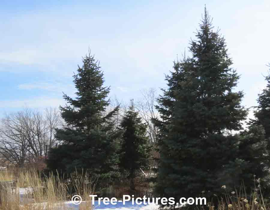 Firs: White Fir Trees