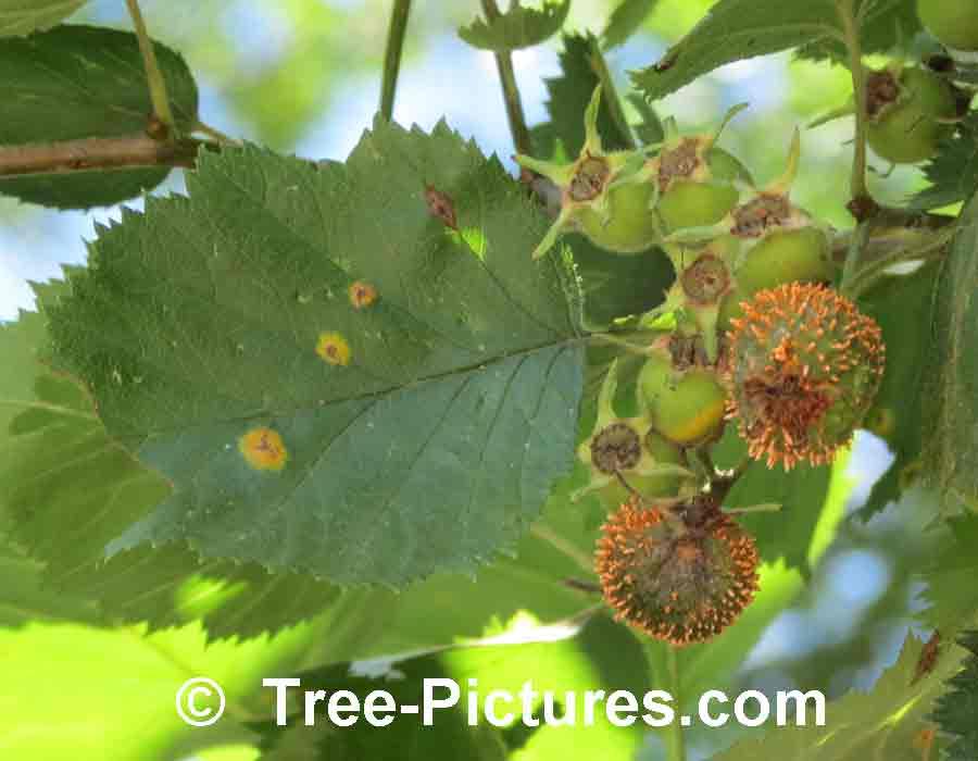 Hawthorn Tree Thorns Hawthorn Tree Berries