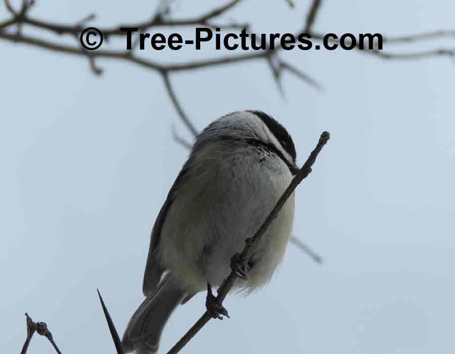 Hawthorn Tree Thorns Thorny Hawthorn Tree
