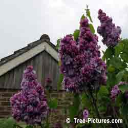 Lilac Trees, Double Purple Lilac Blooms of Fragrant Lilac Tree | Bush:Lilac+Bloom+Double+Purple at Tree-Pictures.com
