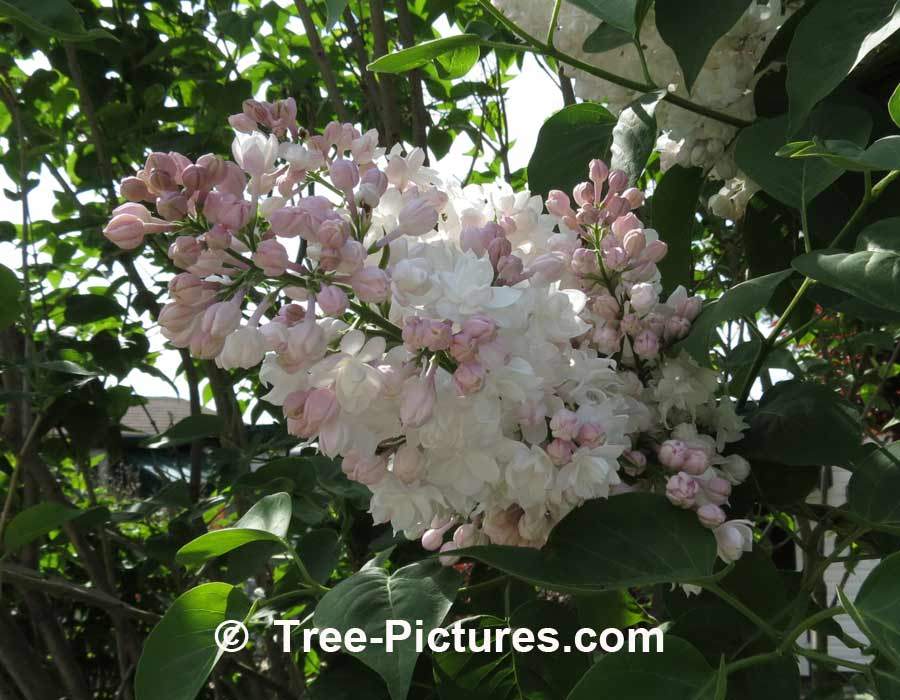 Lilacs: Close Up Photo of Pink Lilac Tree Bloom