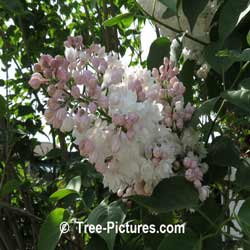 Lilacs: Pink Lilac Tree Blooms | Tree:Lilac+Blossoms+Pink at Tree-Pictures.com