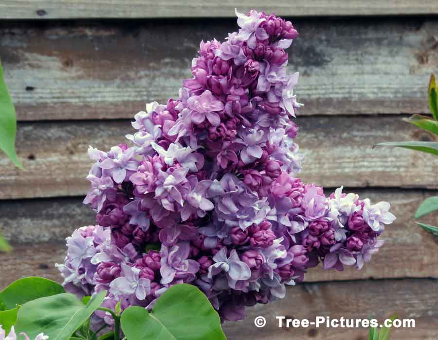 Lilac trees blooming purple flowers of the lilac tree lilac trees bushes shrubs a striking picture of purple lilac tree blooms up close we have many blue white and rose blooming lilac tree photos mightylinksfo