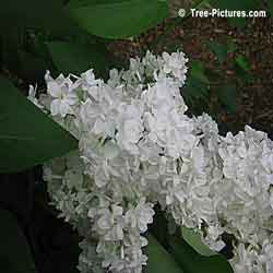 Lilac Trees, Bushes, Shrubs; White Blooms of Fragrant Lilac Tree | Bush:Lilac+Bloom+White at Tree-Pictures.com