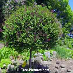 Lilac Trees, Bushes, Shrubs; Purple Blooms of Fragrant Lilac Tree | Bush:Lilac+Bloom+Purple at Tree-Pictures.com