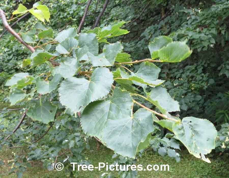 Linden Tree: Identify a Linden Tree By Its Glossy Green Leaves | Linden Trees at Tree-Pictures.com