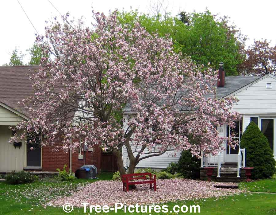 Magnolia Tree: Picturesque Magnolia Tree with its Carpet of Magnolia Petals | Magnolia Trees at Tree-Pictures.com