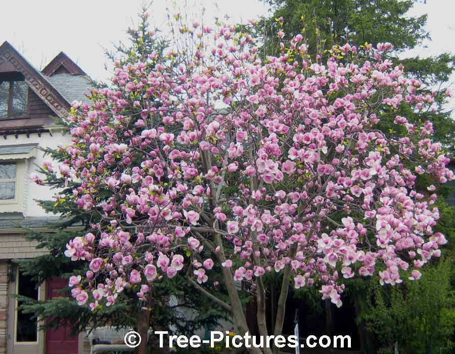 Magnolia Tree: Tulip Magnolia Tree in Bloom| Magnolia Trees at Tree-Pictures.com