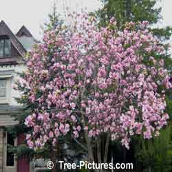 Magnolia Tulip Tree: Beautiful Early Pink Magnolia Spring Blossoms