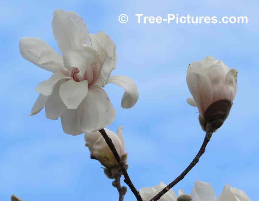 Merrill Magnolia Flowers | Magnolia Trees at Tree-Pictures.com