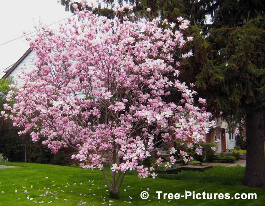 magnolia in spring photo. Black Bedroom Furniture Sets. Home Design Ideas