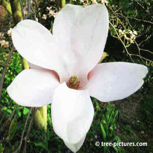Types Of Magnolia Tree With Pictures Facts About Flowering Magnolia