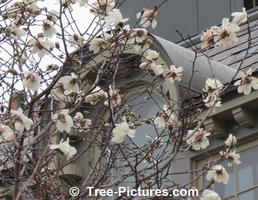 Magnolias: White Magnolia Blossoms Landscape Photo | Magnolia Trees at Tree-Pictures.com