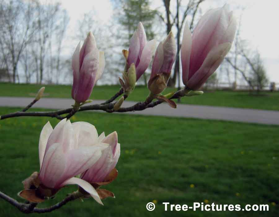 Magnolia Tree: Close Up Picture of Magnolia Flowers Opening | Magnolia Trees at Tree-Pictures.com