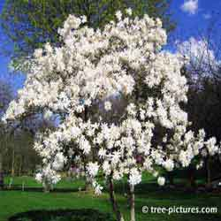 Magnolia, Magnolia Tree with its Pretty White Spring Flowers