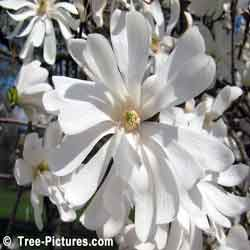 Magnolia Tree Picture, close up picture of a Magnolia Tree with its pretty white spring blossom