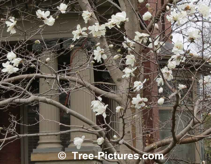 Types of magnolia tree with pictures facts about flowering magnolia magnolia flowers magnolia tree picture mightylinksfo