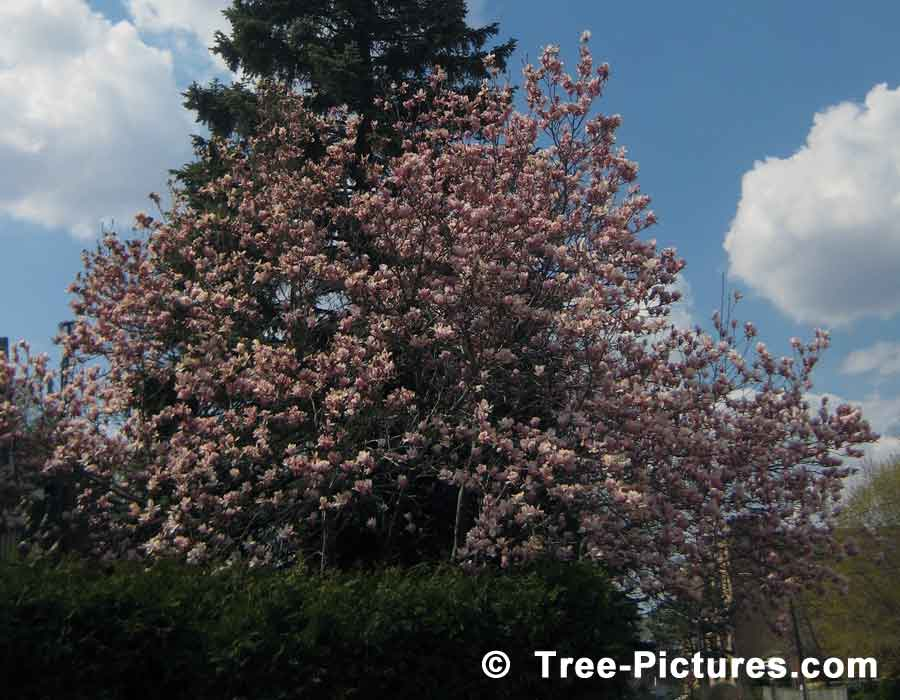 Magnolia Tree: Beautiful Early Pink Magnolia Tulip Spring Blossoms | Magnolia Trees at Tree-Pictures.com