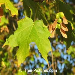 Picture of Maple Trees: Black Maple Identification | Tree:Maple+Black+Leaf+Seed @ Tree-Pictures.com