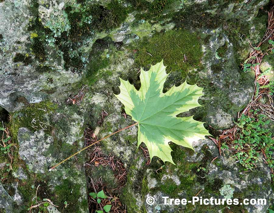 how to tell a sugar maple from other maples