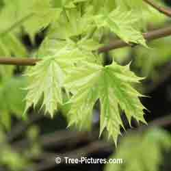 Maples: Harlequin Maple Tree Leaves | Tree:Maple+Harlequin+Leaves @ Tree-Pictures.com