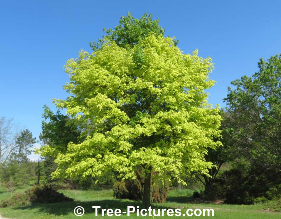 Maples: Striking Variegated Color of the Harlequin Maple Tree | Maple Trees at Tree-Pictures.com