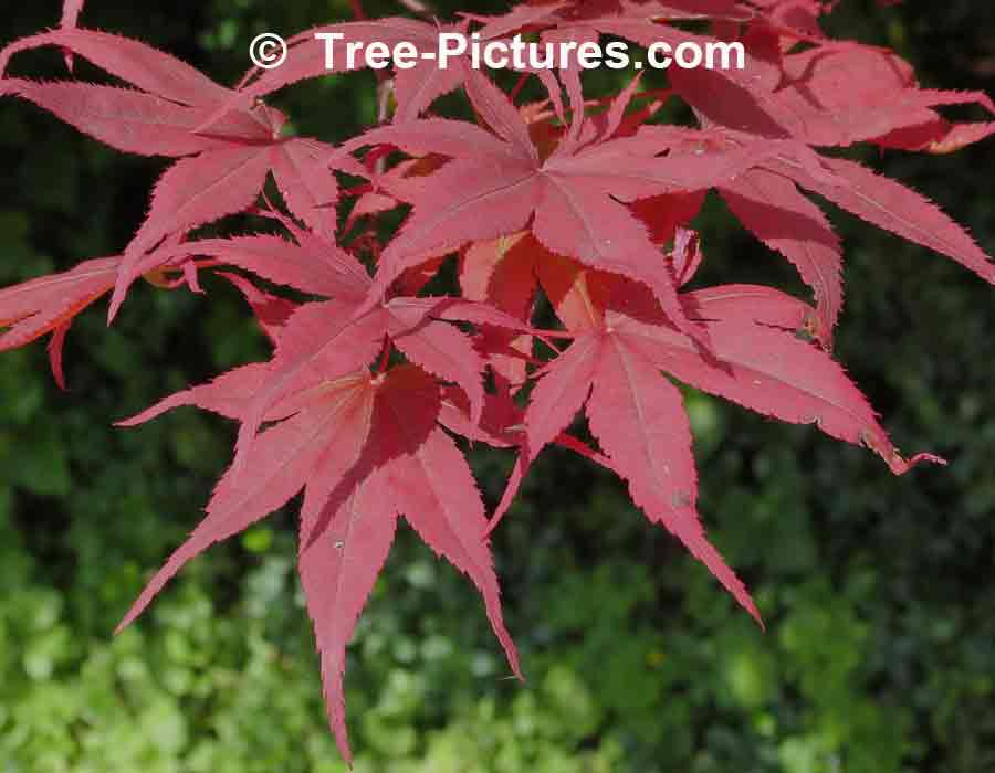Japanese maple pictures images photos facts on Japanese maple leaf